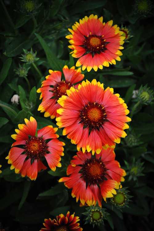 Gaillardia (Sunburst Scarlet Halo blanket flower)