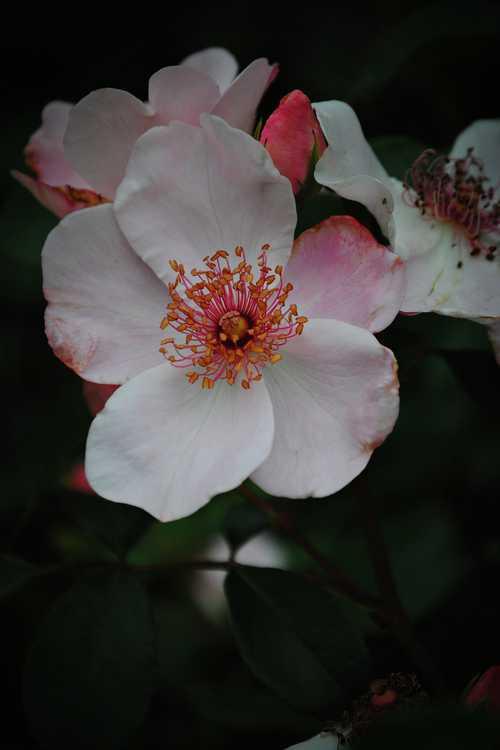 Rosa 'Meiguimov' (The Charlatan shrub rose)