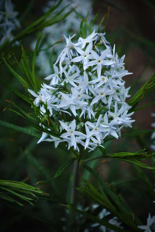 Amsonia hubrichtii (Ozark blue-star)