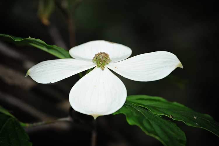 Cornus 'Rutcan' (Constellation Rutgers hybrid dogwood)