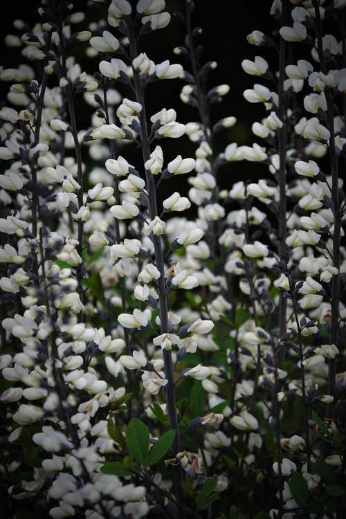 Baptisia alba var. alba Pendula Group (white wild-indigo)
