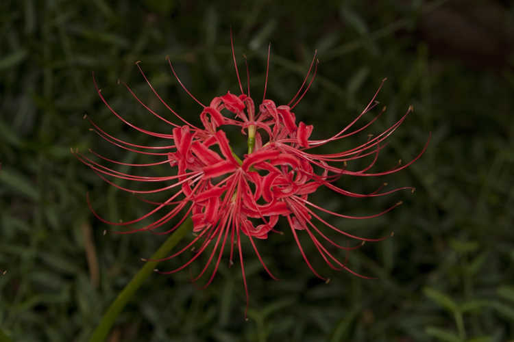 Lycoris radiata var. radiata (red surprise-lily)