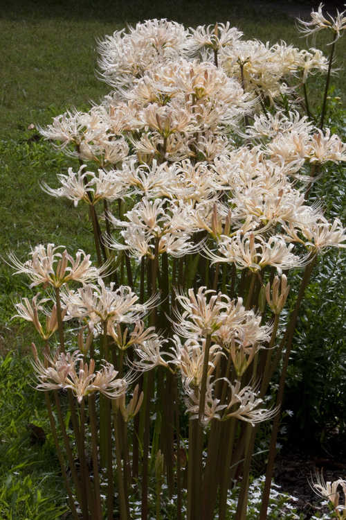 Lycoris albiflora (white surprise-lily)