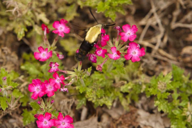 Verbena - Hummingbird hawk-moth (Macroglossum stellatarum)
