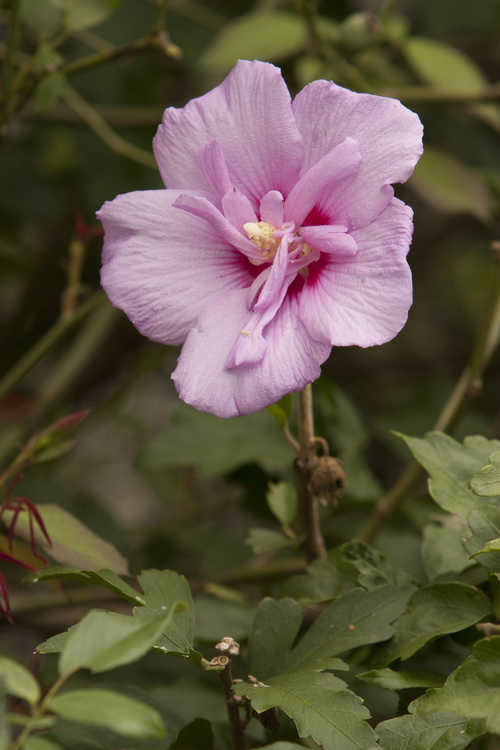 Hibiscus syriacus 'Notwoodone' (Lavender Chiffon™ rose-of-Sharon)