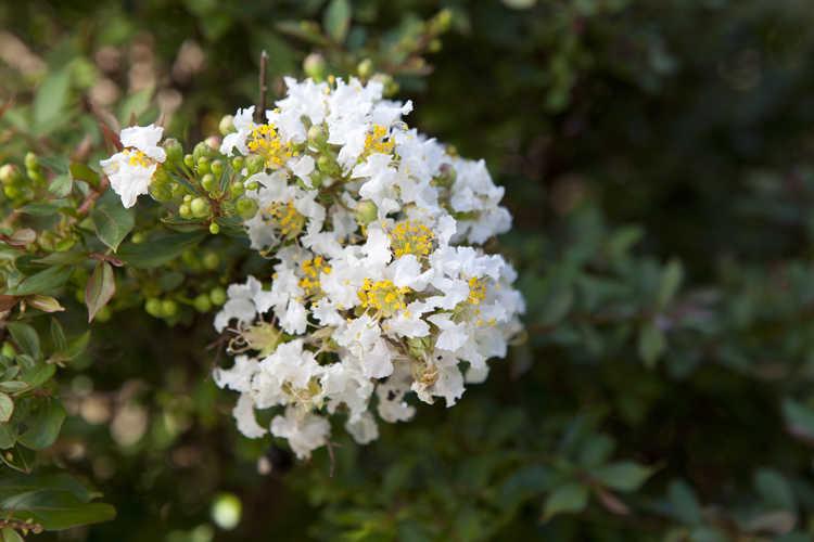 Lagerstroemia 'Gamad III' (Snow Dazzle compact crepe myrtle)