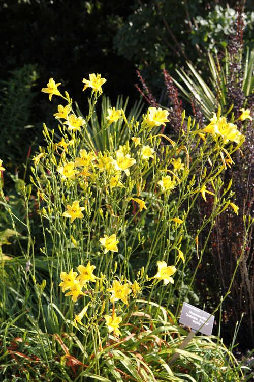 Hemerocallis 'Autumn Prince' (daylily)