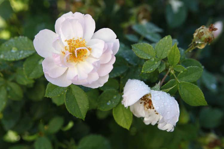 Rosa 'Ausoran' (Scarborough Fair shrub rose)