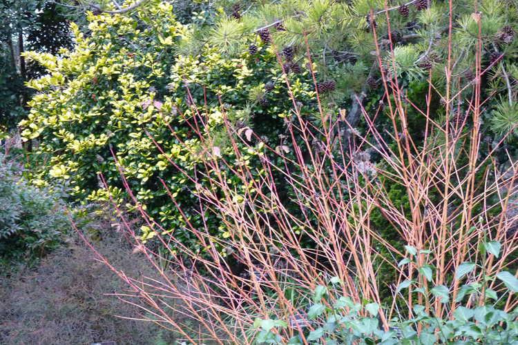 Cornus sanguinea 'Midwinter Fire' (bloodtwig dogwood) - Winter Garden
