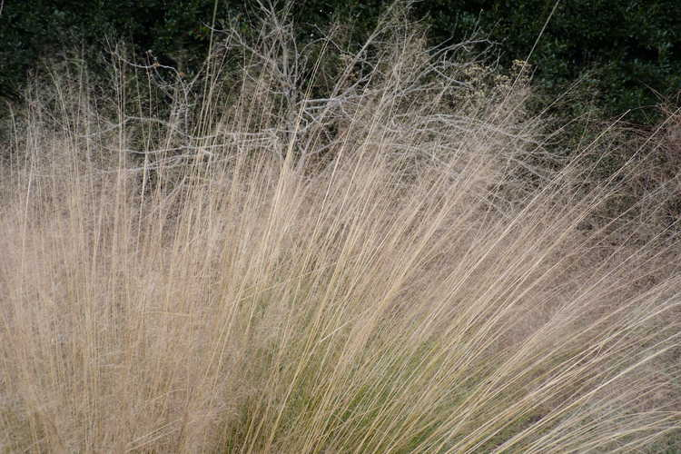 Muhlenbergia capillaris (hairy-awn muhly grass)