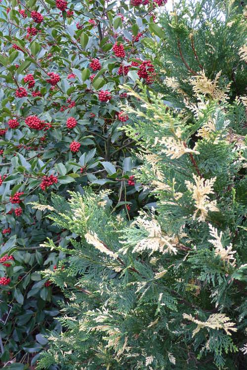 ×Cuprocyparis leylandii 'Star Wars' (variegated Leyland cypress) and Ilex ×koehneana 'Wirt L. Winn' (Koehne holly)