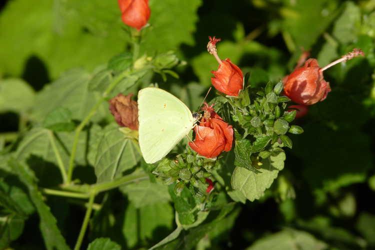 Malvaviscus arboreus var. drummondii (Turk's cap)