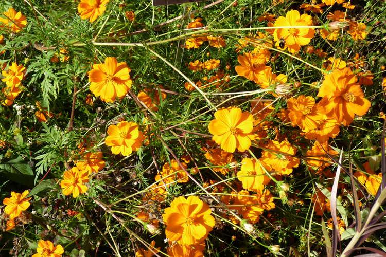 Cosmos sulphureus (orange cosmos)