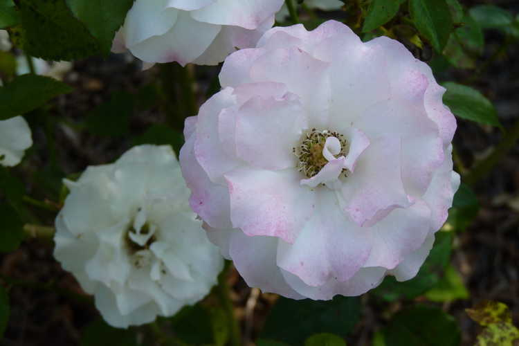 Rosa 'Meipoten' (Easter Basket floribunda rose)