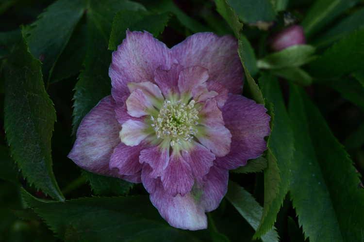 Helleborus ×hybridus (double flower) (double Lenten rose)