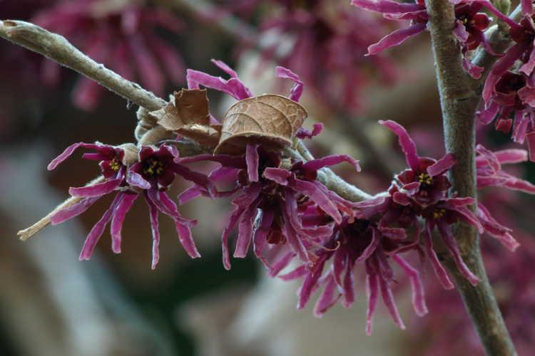 Hamamelis 'Amethyst' (hybrid witchhazel)