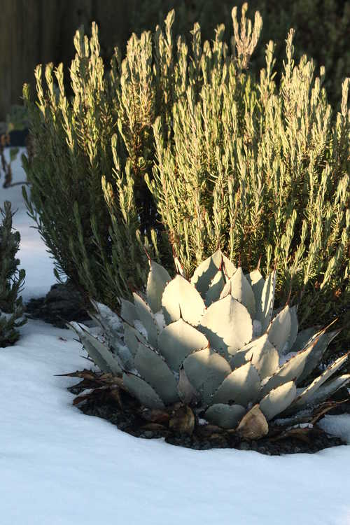 Agave parryi subsp. parryi var. huachucensis (Fort Huachuca barrel agave) and Lavandula (ex. 'Avonview')