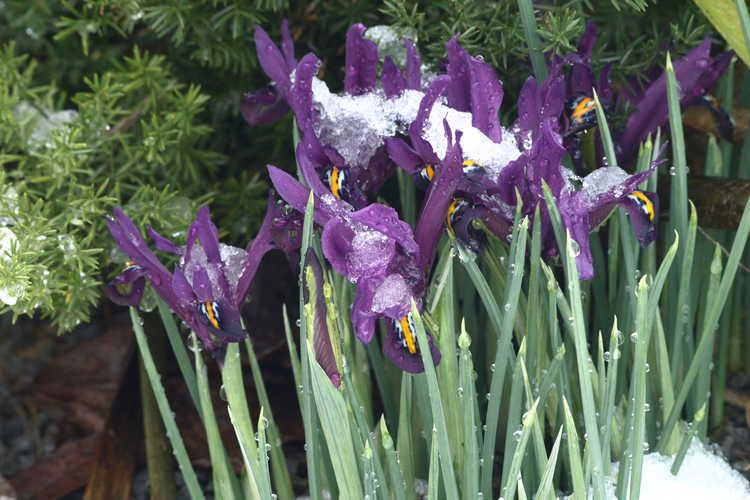 Iris [Reticulata Group] 'J. S. Dijt' (netted iris)
