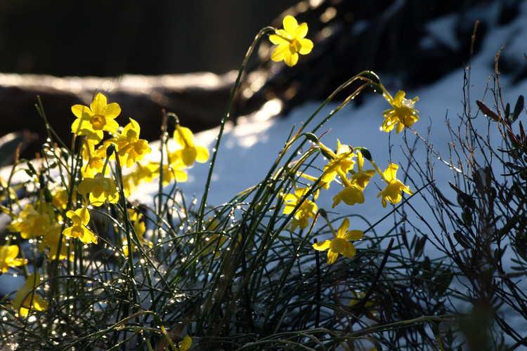 Narcissus jonquilla var. henriquesii (miniature daffodil)