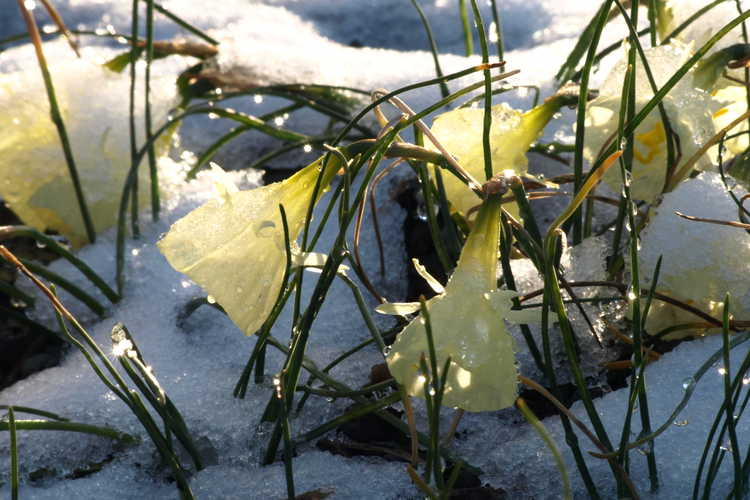 Narcissus 'Spoirot' (miniature daffodil)