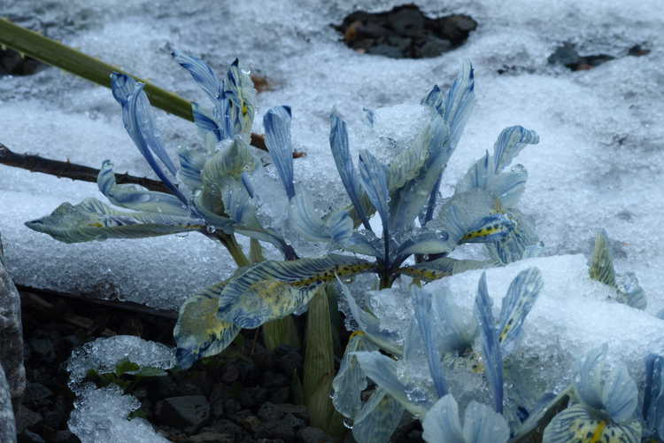Iris [Reticulata Group] 'Katherine Hodgkin' (hybrid reticulate iris)