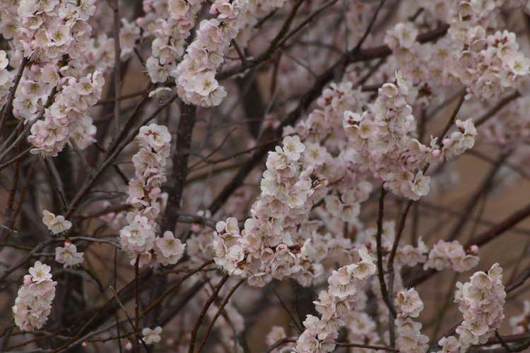 Prunus mume 'Josephine' (Japanese flowering apricot)