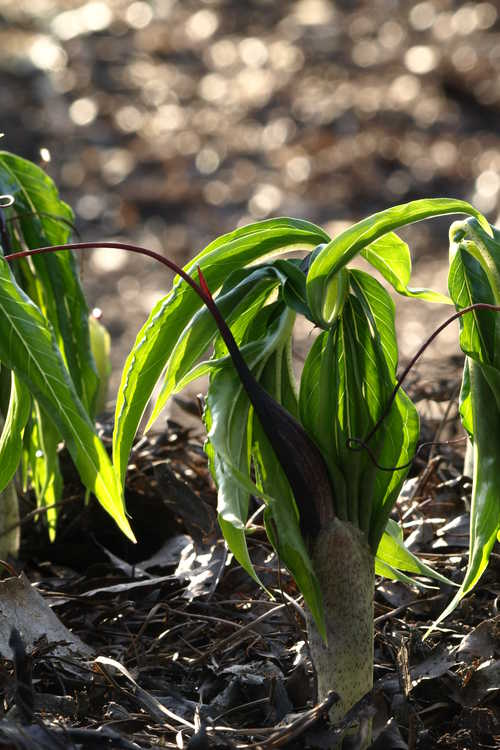Arisaema thunbergii subsp. urashima (Urashima cobra-lily)