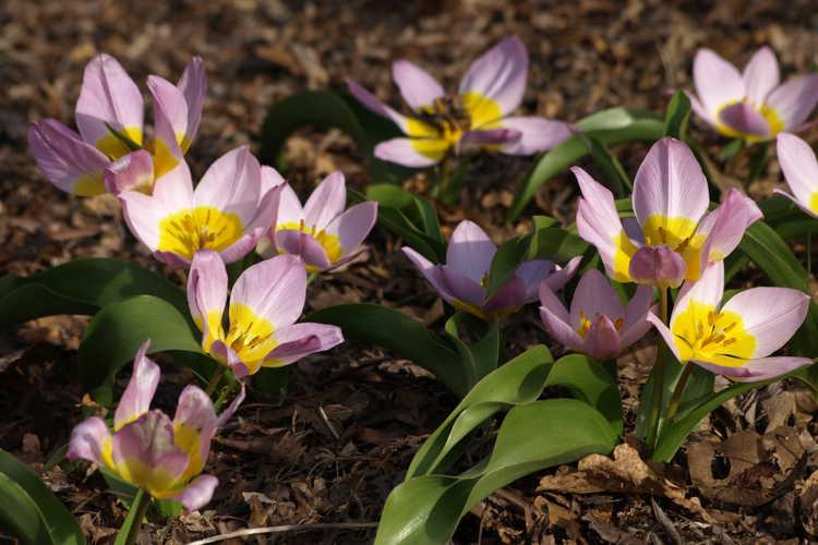 Tulipa bakeri 'Lilac Wonder' (Miniature Tulip)