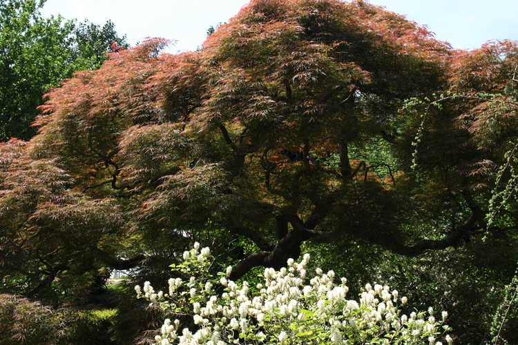 Acer palmatum Dissectum Atropurpureum Group (red lace-leaf Japanese maple) and Fothergilla ×intermedia 'Mount Airy' (hybrid fothergilla)