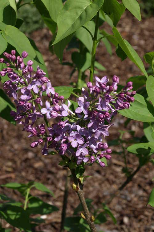 Syringa vulgaris 'Michael Buchner' (double-flowered  and common lilac)