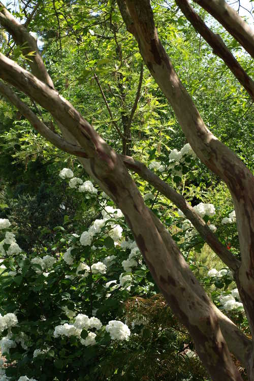 Lagerstroemia limii (Zhejiang crepe myrtle) and Viburnum plicatum 'Sawtooth' (Japanese snowball viburnum)