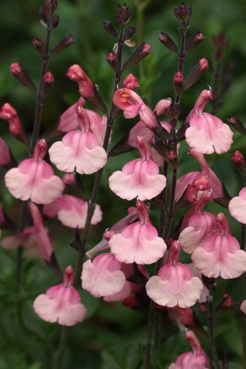 Salvia greggii 'Señorita Leah' (autumn sage)