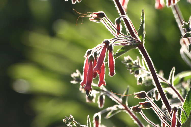 Sinningia 'Scarlet O'Hara' (red hardy gloxinia)
