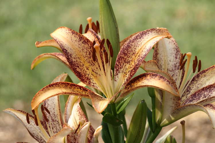 Lilium 'Kentucky' (hybrid lily)