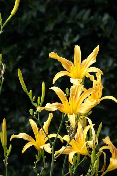 Hemerocallis 'Autumn Minaret' (daylily)