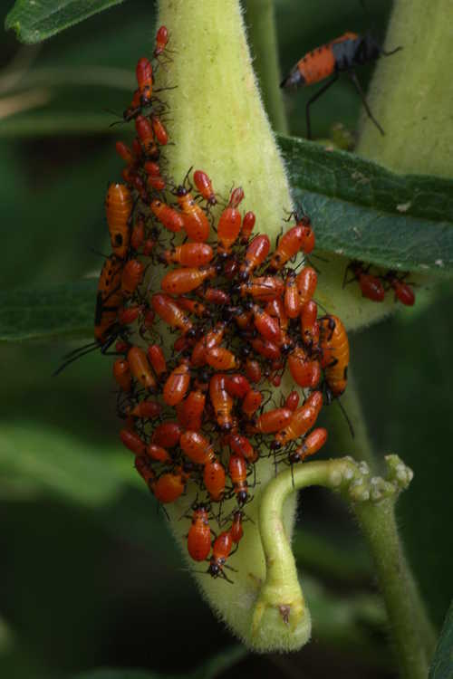 Asclepias tuberosa subsp. tuberosa (common butterfly-weed) - milkweed bugs