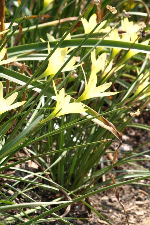 Zephyranthes reginae (rain-lily)