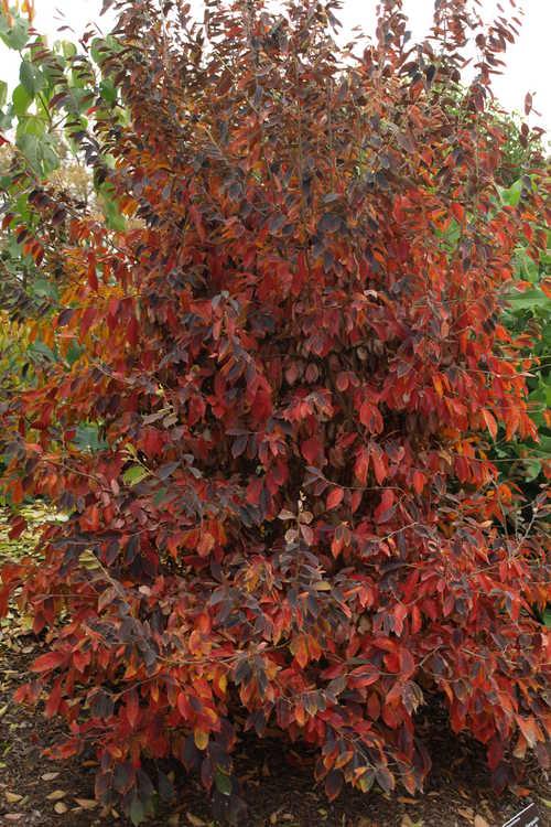 Parrotia subaequalis (Chinese ironwood)