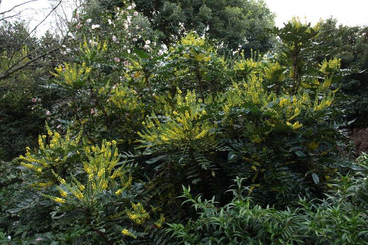 Mahonia ×media 'Winter Sun' (grapeholly)