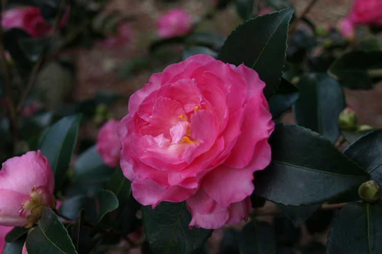 Camellia ×hiemalis 'Rose of Autumn' (hybrid camellia)
