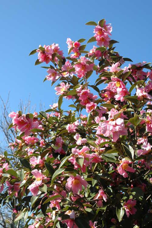 Camellia 'Carolina Moonmist' (Cochran hybrid camellia)