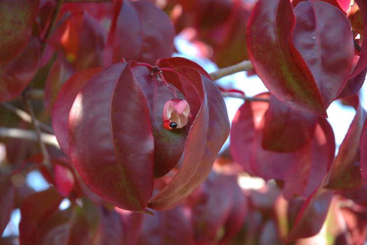 Euonymus carnosus (fleshy-flowered spindletree)
