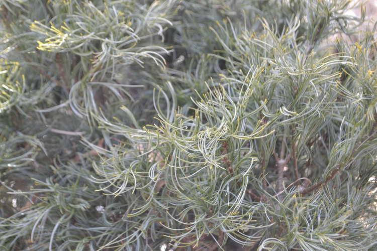 Pinus strobus 'Mini Twists' (dwarf contorted white pine)