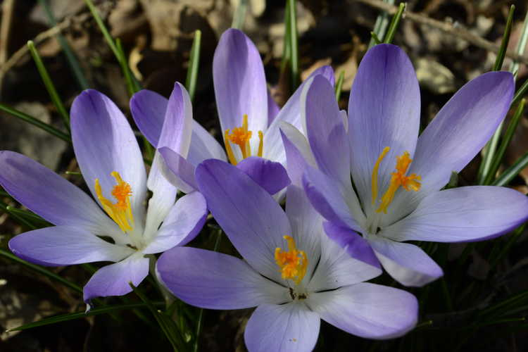 Crocus tommasinianus 'Lilac Beauty' (Tommasini's crocus)