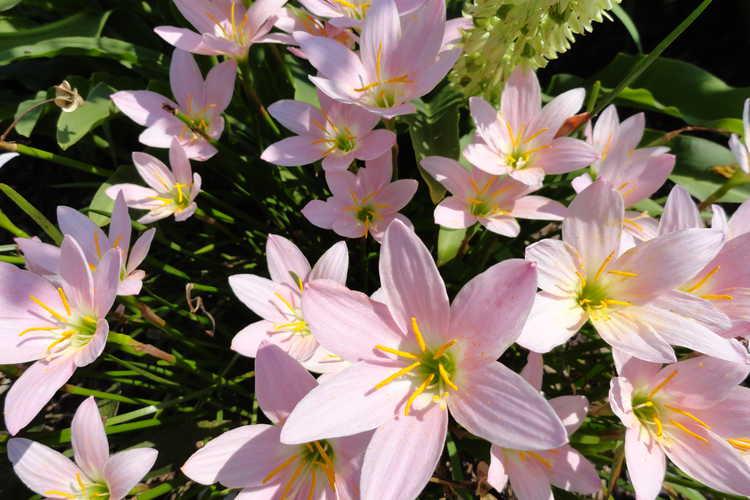 Zephyranthes 'Grandjax' (rain-lily)
