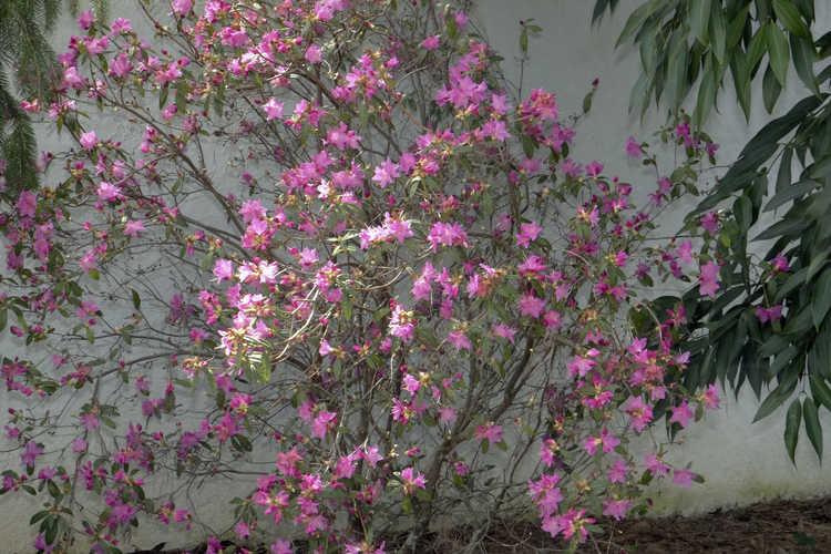 Rhododendron 'Yoshino' (Japanese hybrid azalea)