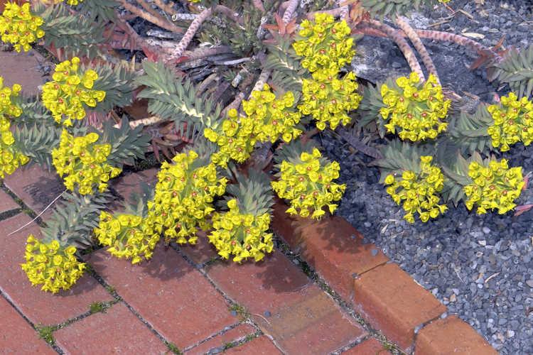 Euphorbia rigida (rigid spurge)