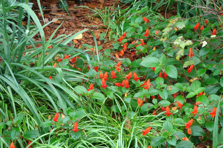 Seemannia nematanthodes 'Evita' (hardy gloxinia)