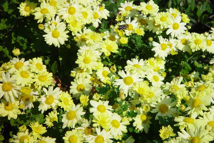 Chrysanthemum (15-501 yellow)