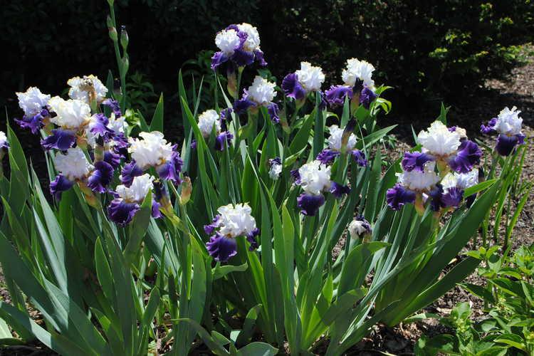 Iris 'Slovak Prince' (tall bearded iris)